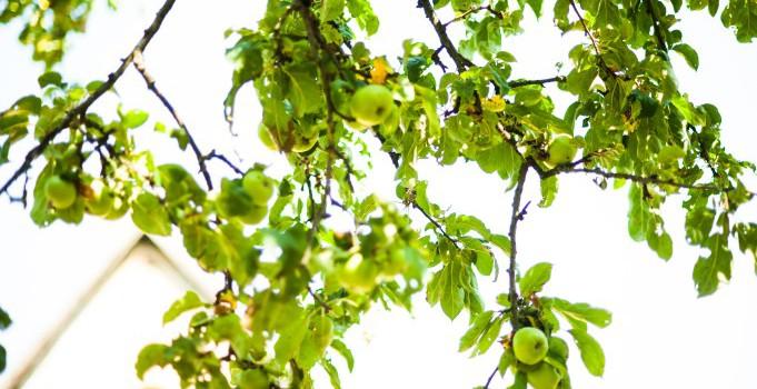 Apfelbaum, Früchte