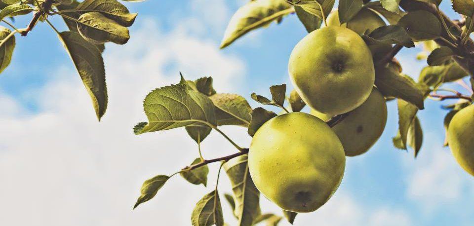 Meister, Leben, Apfelbaum